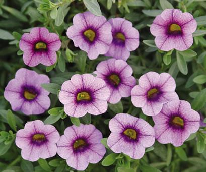 Plant some love greater kansas city alumnae chapter - Calibrachoa perenne ...